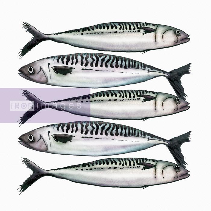 Fresh mackerel - Amanda Dilworth