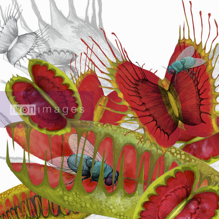 Fly caught in Venus Flytrap plant - Amanda Dilworth