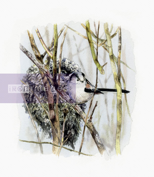 Illustration of long tailed tit beside nest - Andrew Beckett