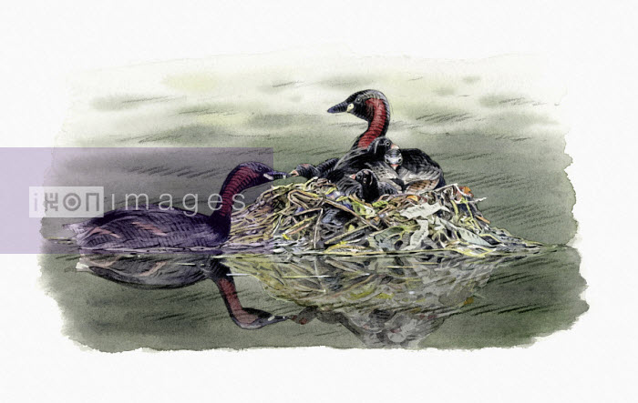 Illustration of little grebes with chicks in nest - Andrew Beckett