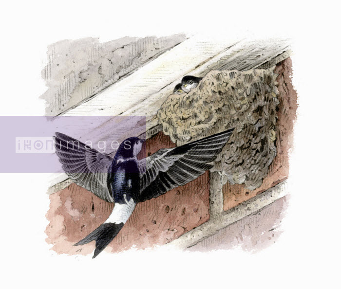 Illustration of house martin returning to chicks in nest - Andrew Beckett