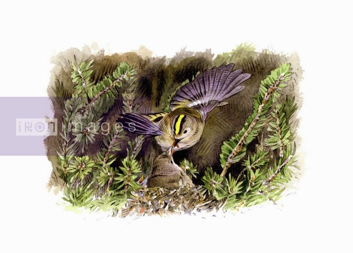 Illustration of goldcrest feeding chick in nest - Andrew Beckett