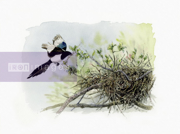 Illustration of magpie approaching nest - Andrew Beckett