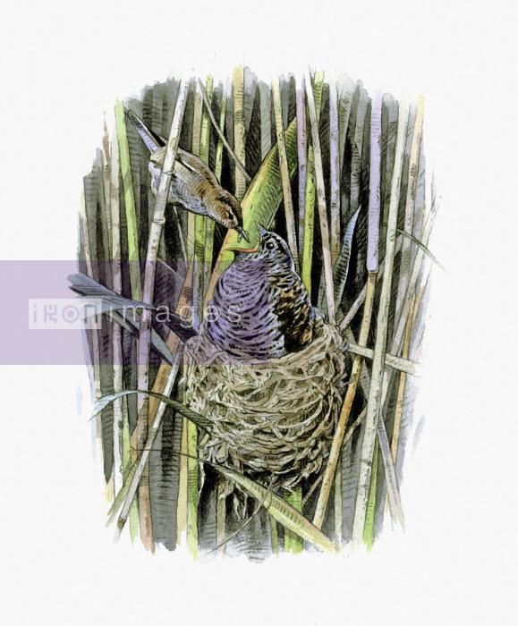 Illustration of reed warbler feeding cuckoo chick in nest - Andrew Beckett