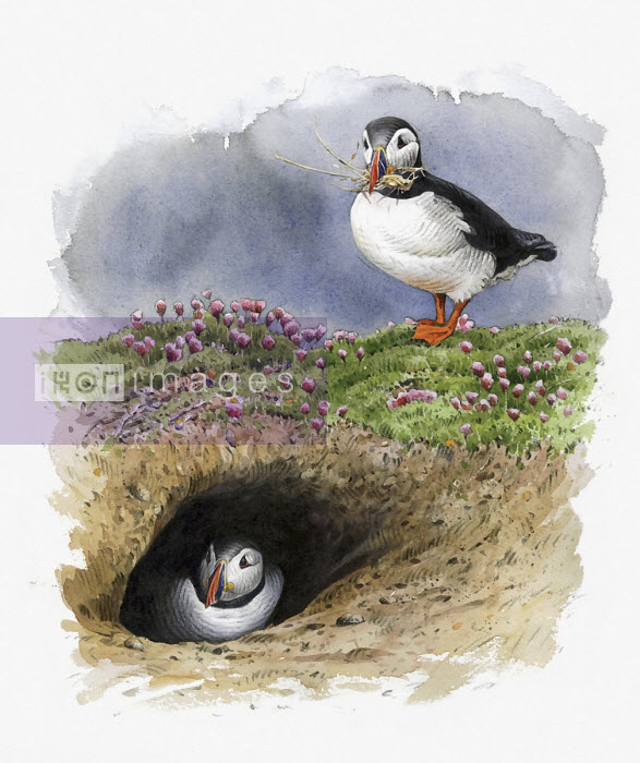 Illustration of Atlantic puffins nesting in burrow - Andrew Beckett