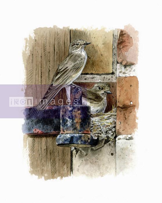Illustration of spotted flycatchers nesting on metal hinge bracket - Andrew Beckett