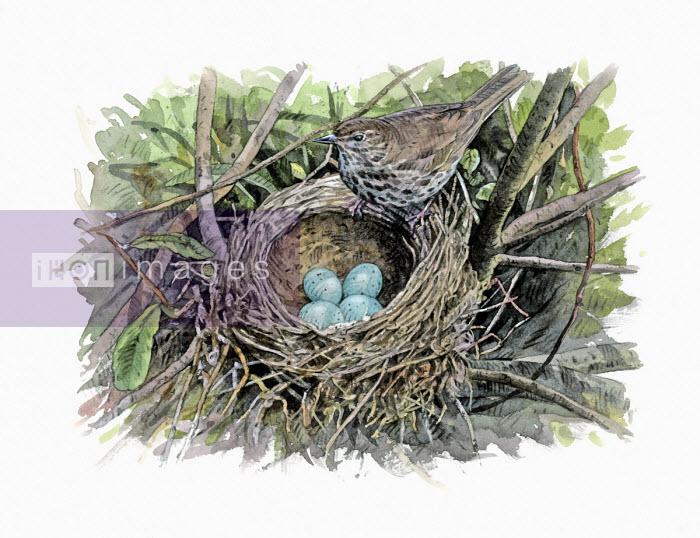 Illustration of song thrush with eggs in nest - Andrew Beckett