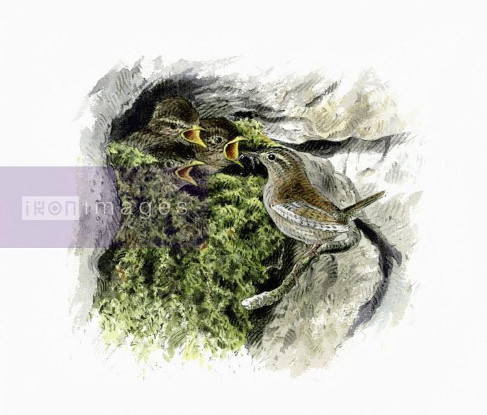 Illustration of wren feeding chicks in mossy nest - Andrew Beckett