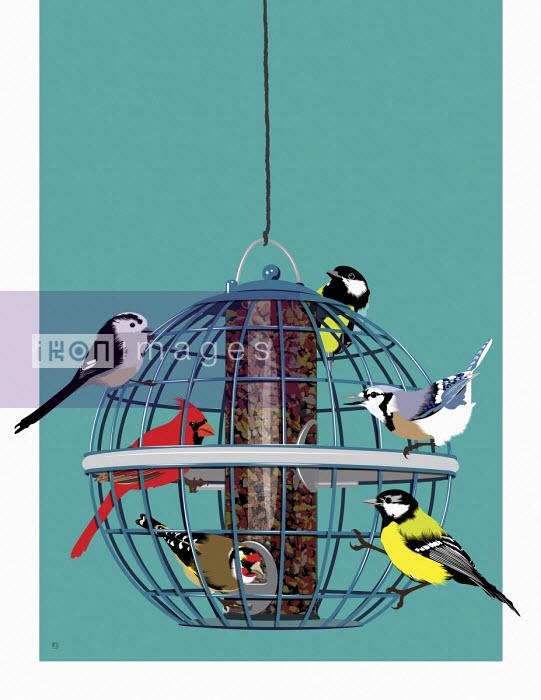 UK garden birds watching North American cardinal on bird feeder - Paul Garland